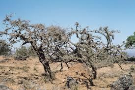 bursera graveolens palo santo albero